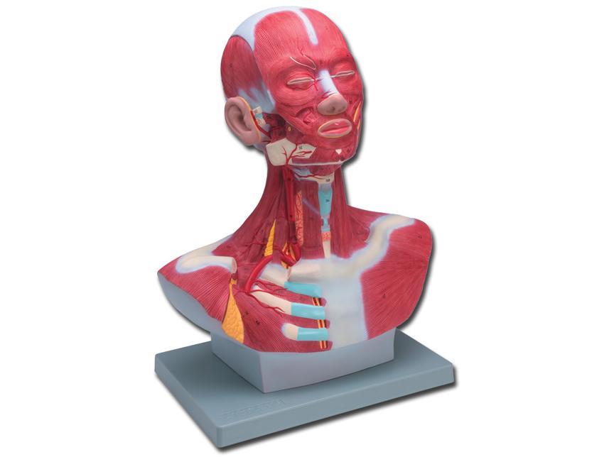 Mišići glave