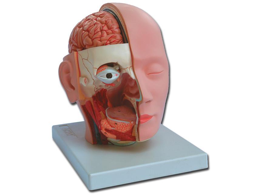 glava