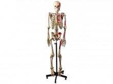 kostur sa mišićnim dodacima