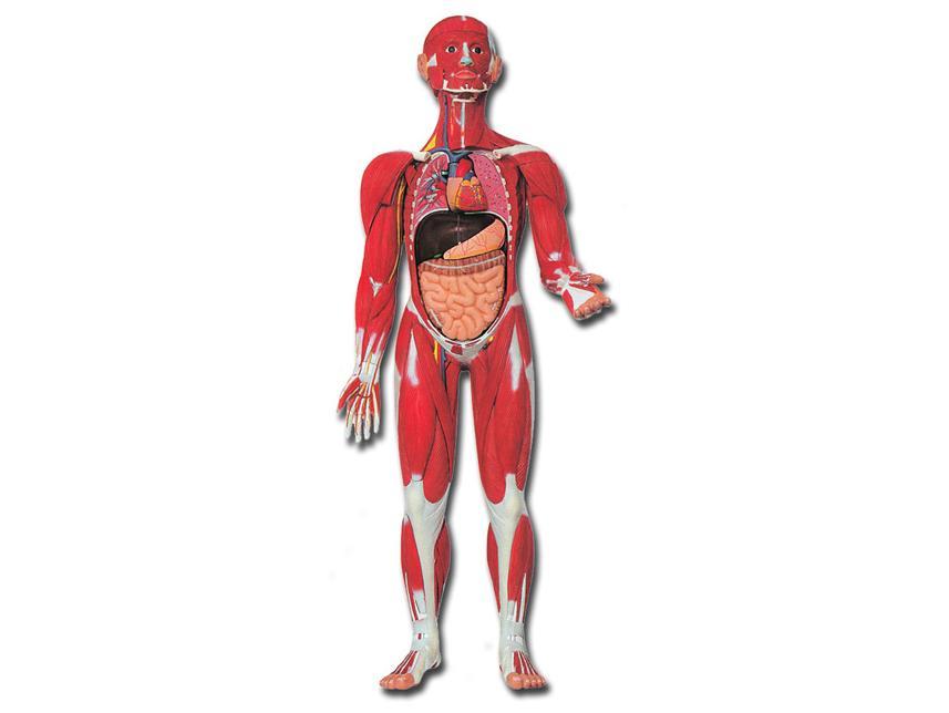 mišićna figura
