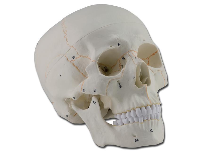 numerirana ljudska lubanja