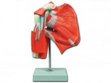 rameni mišić