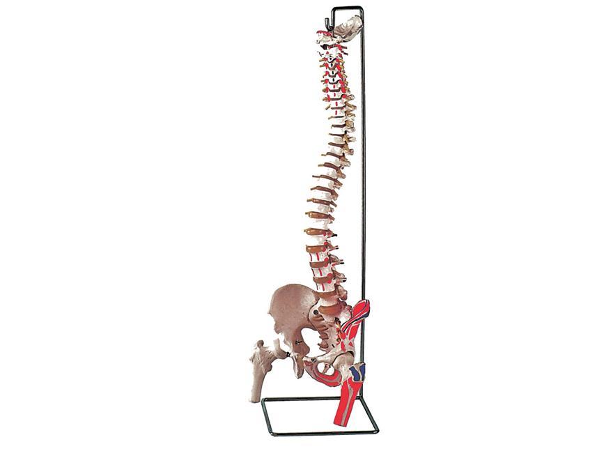 stup kralježnice sa mišićima