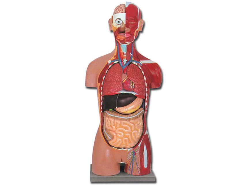 torzo mišićni sa otvorenim leđima