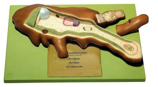 model - ameba