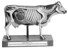 model - krava s kosturom