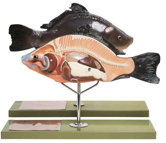 model - riba