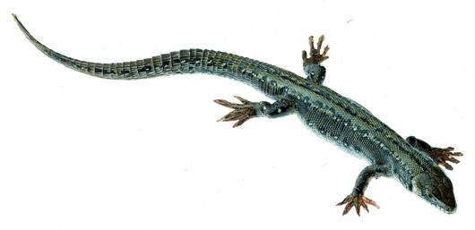 model - gušter viviparous ženka