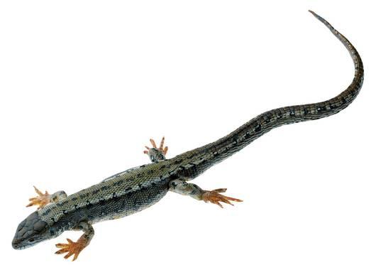 model - gušter viviparous