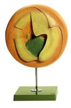 model - kokošji embrij 20 sati