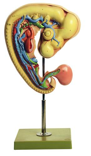 model - kokošji embrij nakon 4 dana