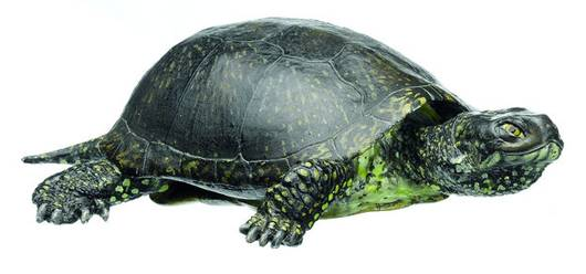 model - kornjača