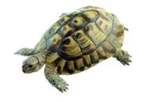 model - obična čančara kornjača