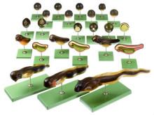 model - razvoj žabe