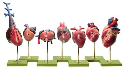 model - srca kralješnjaka