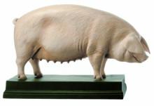 model - svinja za rasplod
