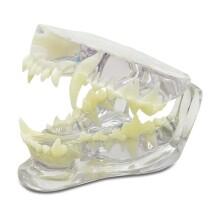 dental model pas