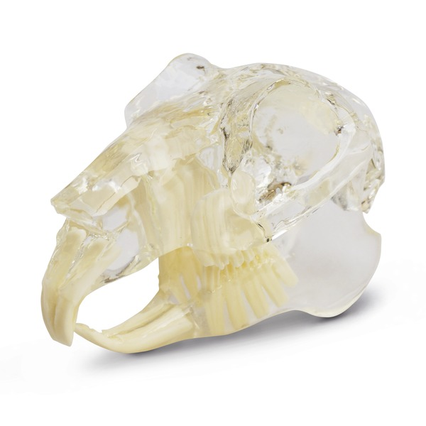 dental model glodavac